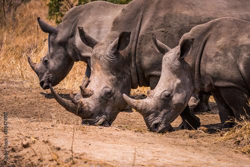 Photo Three white rhino grazing walking abreast