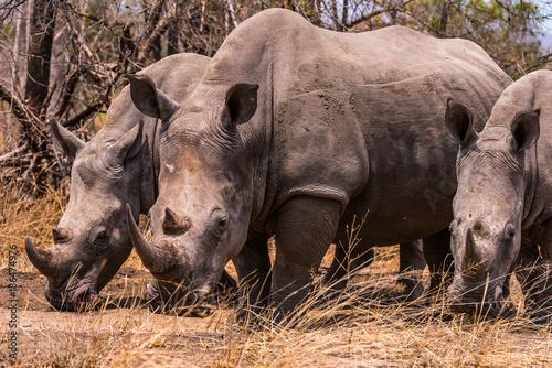 Poster Rhino white rhino grazing
