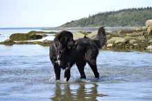 Newfoundland Dog In Water