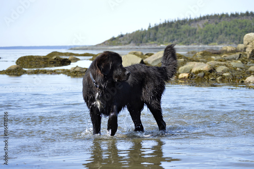 Slika na platnu Newfoundland Dog in Water