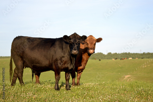 Cows in a Pasture Canvas Print