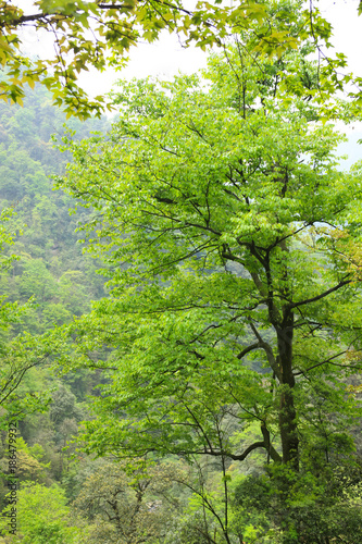 Fototapety, obrazy: Tree in the mountainous forests of China