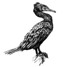 The Bird Is A Cormorant Standi...