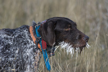 Hunting Dog With Porcupine Qui...