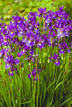 A Bed Of Tall Blue Irises