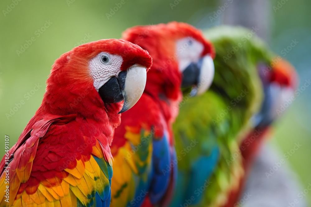 Close up group of Ara parrots ,Scarlet Macaw and Great green macaw, portrait of four red and green, colorful amazonian parrots in a row, focused on first. Wild animals, Costa Rica, Central America.