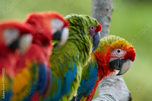 Fotografie, Obraz  Curious parrot, staring directly at camera from row of Ara parrots