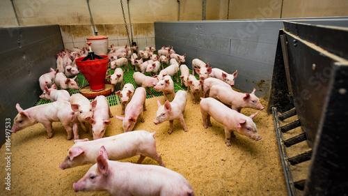 farma świń gospodarstwo rolne