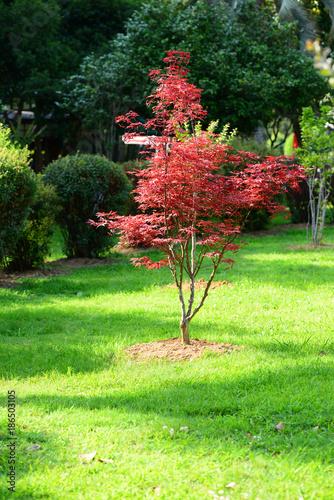 Fotografía  Japanese red maple (Acer palmatum japonica red) in a park. Batumi