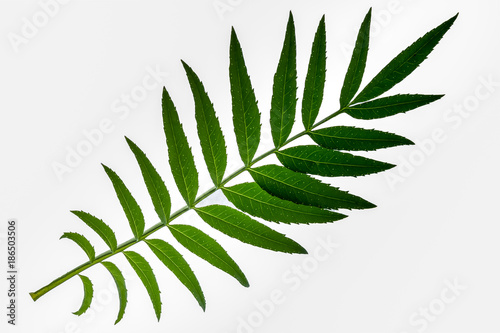 Fototapety, obrazy: Green leaves, white background