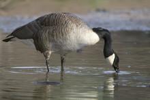 Canada Goose (Barna Canadensis...