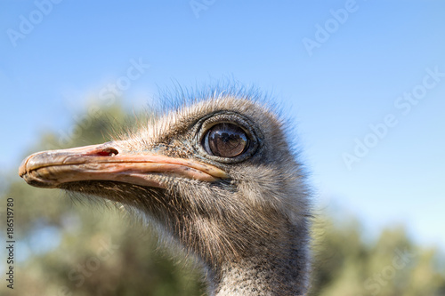 the proud ostrich