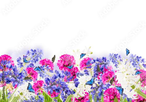 Fototapety, obrazy: Spring flower,muscari, ble hyacinth isolated on white background
