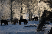 Herd Of Icelandic Horses In Ic...
