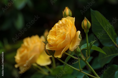 Fotografie, Obraz  Flower of yellow rose in the summer garden