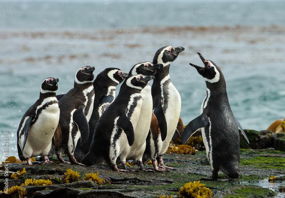 A group of Magellanic penguin gather on a rocky coast of Falkland islands.