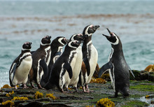 A Group Of Magellanic Penguin ...