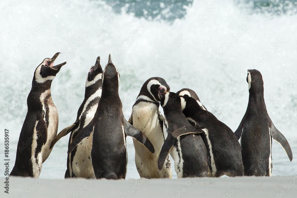 A group of Magellanic penguin gather on a coast of Falkland islands.