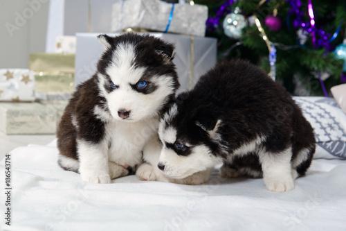 Husky Christmas Puppy.Little Husky Puppies Near The Christmas Tree Cute Baby Dog