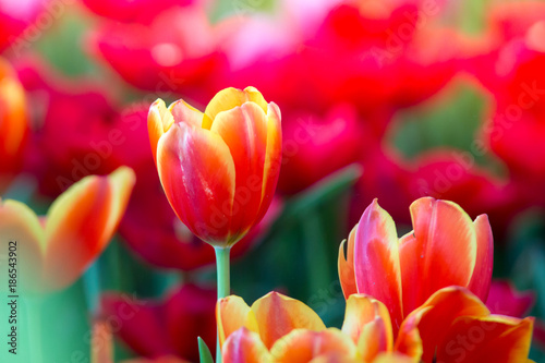 Poster Tulp Tulips flowers beautiful bouquet of tulips , colorful flowers ,background wallpaper