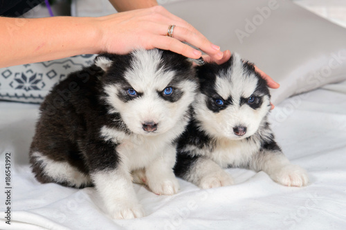 Little Husky Puppies Cute Baby Dog With Blue Eyes Pet Man S Best Friend Buy This Stock Photo And Explore Similar Images At Adobe Stock Adobe Stock