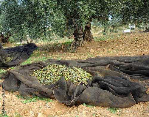 Vareo, recolección tradicional de la aceituna en Andalucía Canvas Print