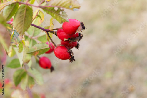 ripe dogrose on blurred background Wallpaper Mural