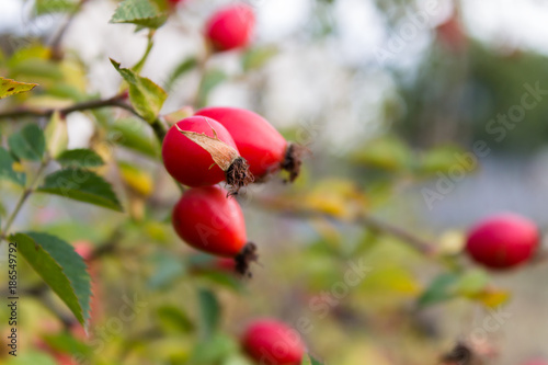 ripe dogrose on a branch Canvas Print