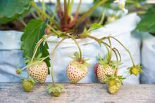 Strawberry Plantation On A Pla...