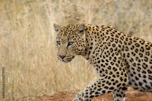 Fototapety, obrazy: Leopard, Ongava, Namibia