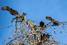 Turkey Vulture Cathartes Aura Roost