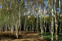 A Beautiful Grove Of Silver Bi...