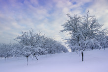 Snowy Orchard During Sunset, Fruit Trees At Winter Landscape