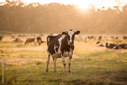 Cow in a Field at Sunset