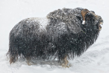 Muskox in closeup grunting ...