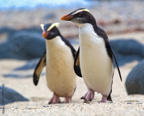 Foto op Canvas Pinguin Fiordland crested penguins on the coast of New Zealand