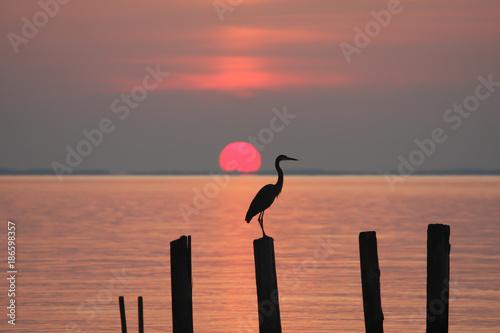 Heron perching on a piling at sunrise on the Chesapeake Bay in Chesapeake Beach, Calvert County, Maryland, USA.