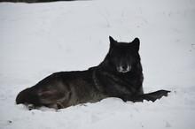 Grey Wolf Laying