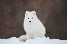 Arctic Fox Staring