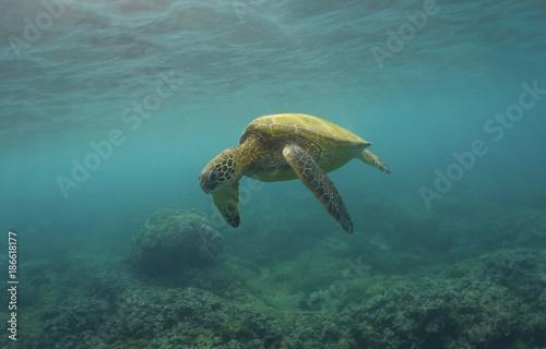 Foto op Canvas Schildpad Maui Adventures