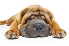 Beautiful Shar Pei Puppy Sleep...