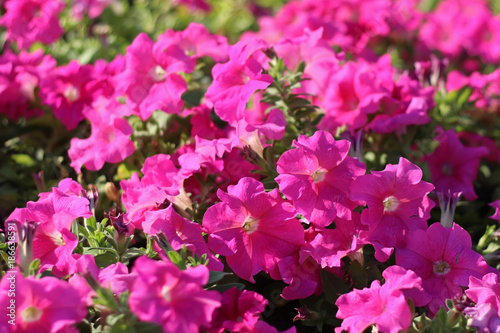 Foto op Canvas Azalea Pink blossom with green leaf in park of thailand