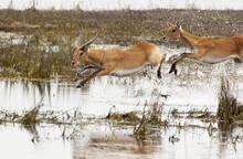 Red Lechwe - Chobe National Pa...