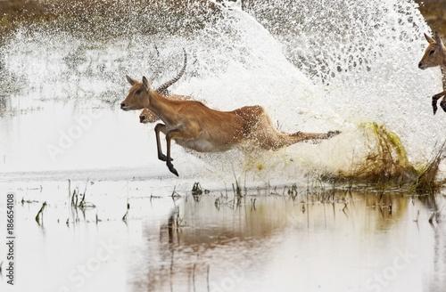 Poster Antilope Red Lechwe antelopes - Chobe National Park - Botswana
