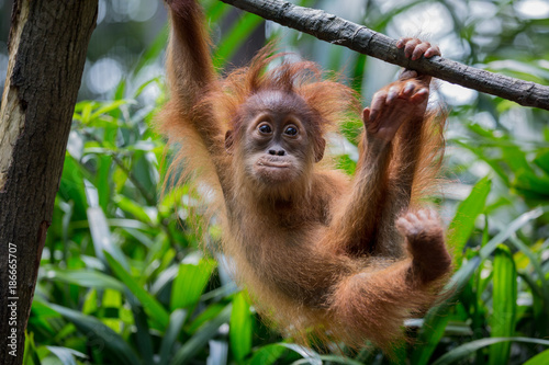 Cadres-photo bureau Singe Orangutan