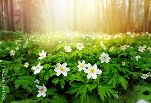 Beautiful white flowers of anemones in spring in a forest close-up in sunlight in nature Fotobehang