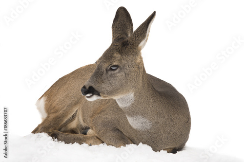 La pose en embrasure Roe deer