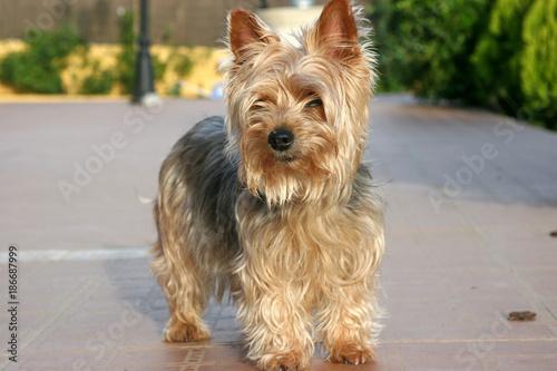 Photo yorkshire terrier  adulta