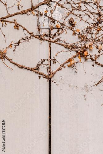 Fotografie, Obraz  여러가지 패턴을 보이고 있는 벽을 점령한 마른 덩굴 나무