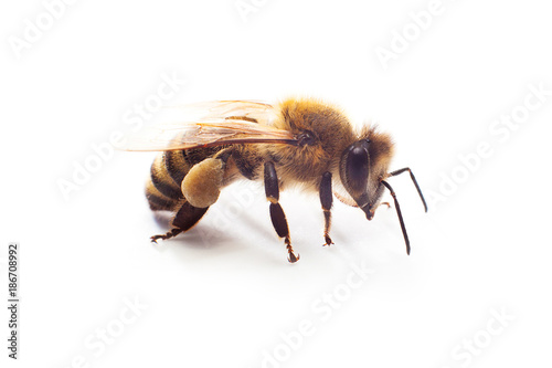 Insect honey bee with pollen on its paws isolated on white